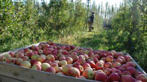 Reabrieron la frontera de Brasil para exportación de peras y manzanas